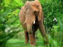 Afrikaanse Elephant001 Stock Fotografie