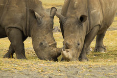 2 Afrikaanse en Rinocerossen die, die eten samenwerken Stock Foto's