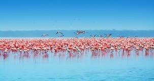 Afrikaanse flamingo's Royalty-vrije Stock Afbeeldingen