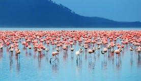 Afrikaanse flamingo's Stock Fotografie
