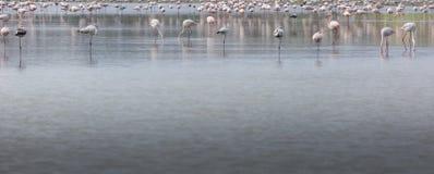 Afrikaanse flamingo's in het meer over mooie zonsondergang, troep van ex Stock Fotografie