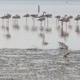 Afrikaanse flamingo's in het meer over mooie zonsondergang, troep van ex Royalty-vrije Stock Fotografie