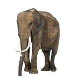 Afrikaanse geïsoleerde olifant, Royalty-vrije Stock Afbeeldingen