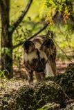 Afrikaanse geschilderde Hond die en zich op Sunny Day terugtrekken kijken royalty-vrije stock afbeelding