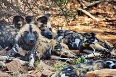 Afrikaanse geschilderde honden royalty-vrije stock afbeeldingen