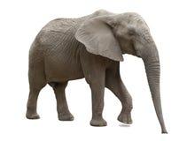 Afrikaanse geïsoleerde olifant Stock Foto's