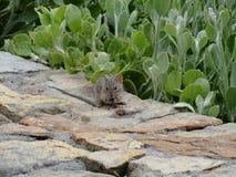 Afrikaanse gestreepte grasmuis die een framboos op een rotsmuur eten op Kaappunt Royalty-vrije Stock Afbeelding