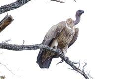 Afrikaanse gier die zich bovenop een tak bevinden stock foto