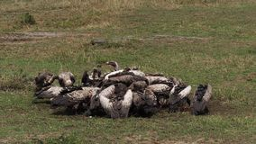 Afrikaanse Gier Met witte rug, gyps africanus, de Gier van Ruppell ` s, gyps rueppelli, Groep die op Karkas, Masai Mara Park in K stock videobeelden