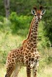 Afrikaanse Giraf Stock Fotografie