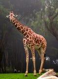 Afrikaanse Giraf royalty-vrije stock foto's
