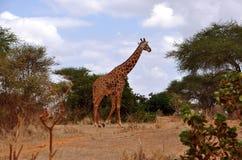 Afrikaanse giraf in de savanne Royalty-vrije Stock Foto