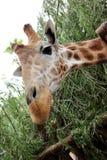 Afrikaanse Giraf (Giraffa-camelopardalis). Royalty-vrije Stock Afbeelding
