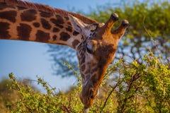 Afrikaanse Giraffa Stock Afbeeldingen