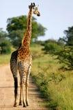 Afrikaanse Giraffen royalty-vrije stock foto