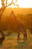 Afrikaanse Giraffen stock afbeeldingen