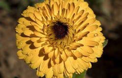 Afrikaanse goudsbloem of Tagetespatula Royalty-vrije Stock Afbeelding
