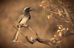 Afrikaanse Grijze Hornbill Stock Foto