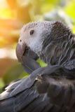 Afrikaanse grijze papegaai Stock Afbeelding