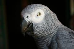Afrikaanse grijze papegaai Stock Afbeeldingen