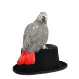 Afrikaanse grijze papegaai op hoed Royalty-vrije Stock Foto's