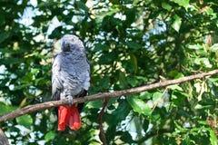 Afrikaanse grijze papegaai of Psittacus-erithacuszitting op groene boom dichte omhooggaand als achtergrond stock foto