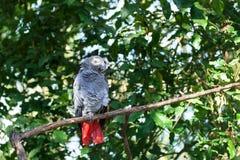 Afrikaanse grijze papegaai of Psittacus-erithacuszitting op groene boom dichte omhooggaand als achtergrond stock afbeelding