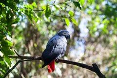 Afrikaanse grijze papegaai of Psittacus-erithacuszitting op groene boom dichte omhooggaand als achtergrond royalty-vrije stock afbeelding