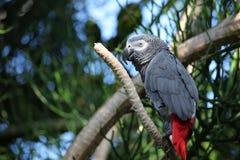 Afrikaanse grijze papegaai tropische vogel die gelukkig kijkt Royalty-vrije Stock Foto's