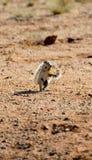 Afrikaanse grondeekhoorn stock foto
