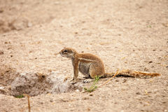 Afrikaanse grondeekhoorn Royalty-vrije Stock Afbeelding