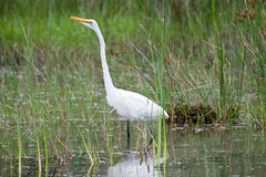 Afrikaanse Grote Aigrette Stock Foto