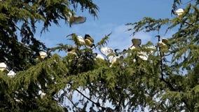 Afrikaanse Heilige Ibis stock footage