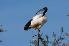 Afrikaanse heilige ibis, threskiornisaethiopicus Stock Foto's