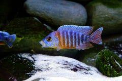 Afrikaanse het aquariumvissen van Malawi cichlid zoetwater royalty-vrije stock foto's