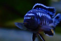 Afrikaanse het aquariumvissen van Malawi cichlid zoetwater stock afbeelding