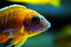 Afrikaanse het aquariumvissen van Malawi cichlid zoetwater stock foto