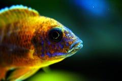 Afrikaanse het aquariumvissen van Malawi cichlid zoetwater stock afbeeldingen