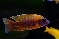 Afrikaanse het aquariumvissen van Malawi cichlid zoetwater royalty-vrije stock afbeelding