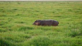 Afrikaanse Hippo die het Sappige Groene Gras in Moerassige Weilandknie diep weiden in Modder stock footage