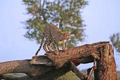 Afrikaanse jachtluipaard Stock Foto