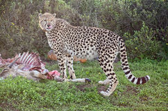 Afrikaanse Jachtluipaard Royalty-vrije Stock Foto