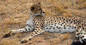 Afrikaanse Jachtluipaard die in aard rusten Royalty-vrije Stock Afbeeldingen