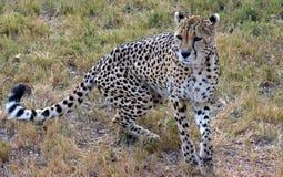 Afrikaanse Jachtluipaard die in aard rusten Royalty-vrije Stock Afbeelding