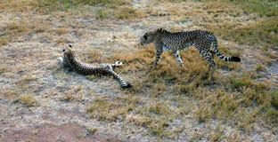 Afrikaanse Jachtluipaard die in aard rusten Stock Afbeelding