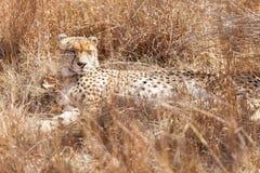 Afrikaanse Jachtluipaard die in lang gras liggen stock afbeeldingen