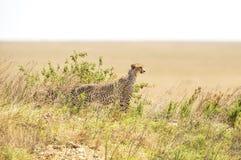 Afrikaanse jachtluipaard op een heuvel in Serengeti Stock Foto