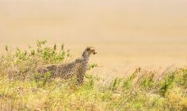 Afrikaanse jachtluipaard op een heuvel in Serengeti Stock Afbeeldingen