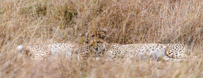 Afrikaanse jachtluipaarden Royalty-vrije Stock Afbeeldingen