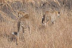 Afrikaanse jachtluipaarden Stock Foto